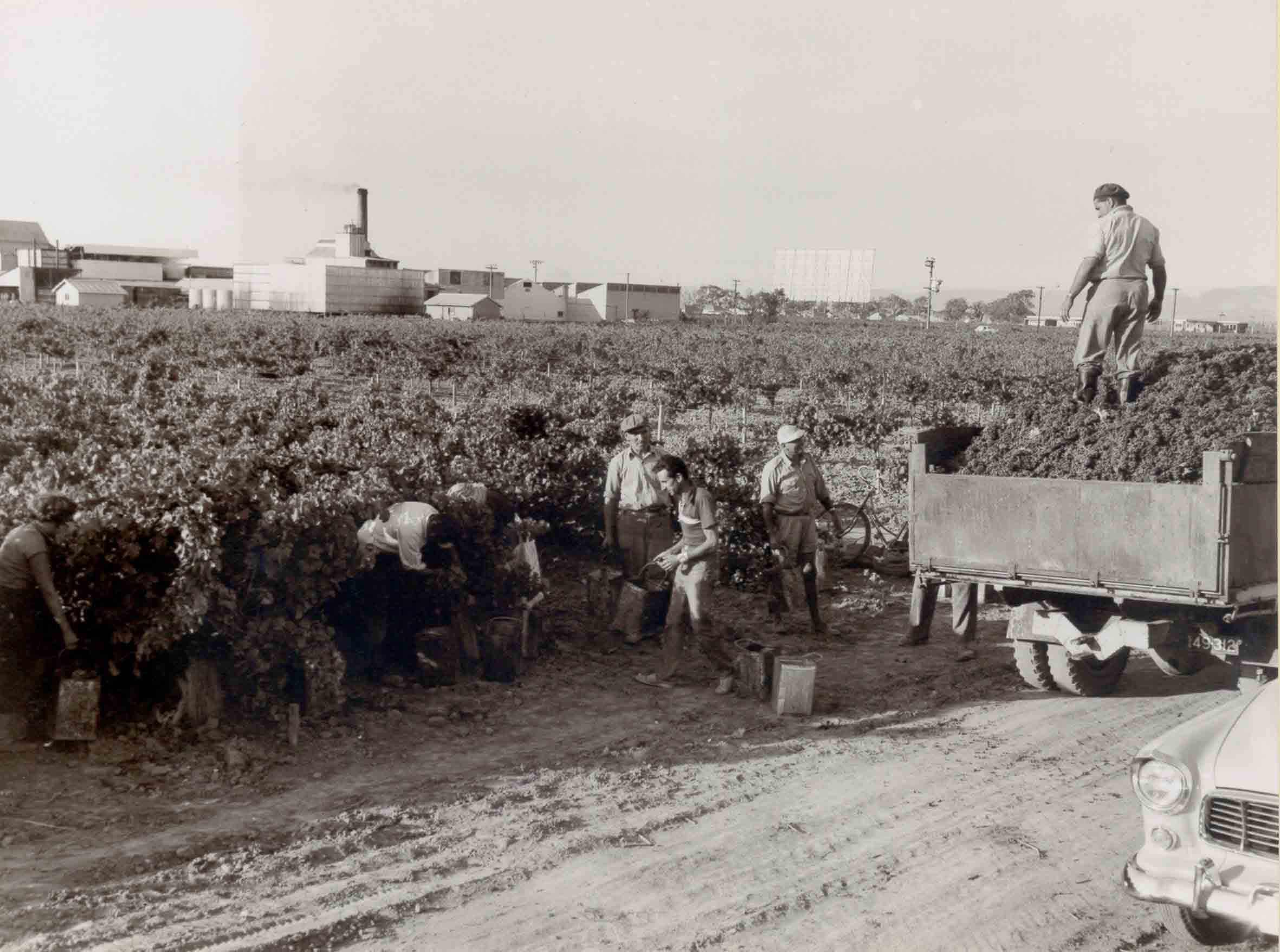 Grenache Grape Picking at Ewell Vineyards 1960s