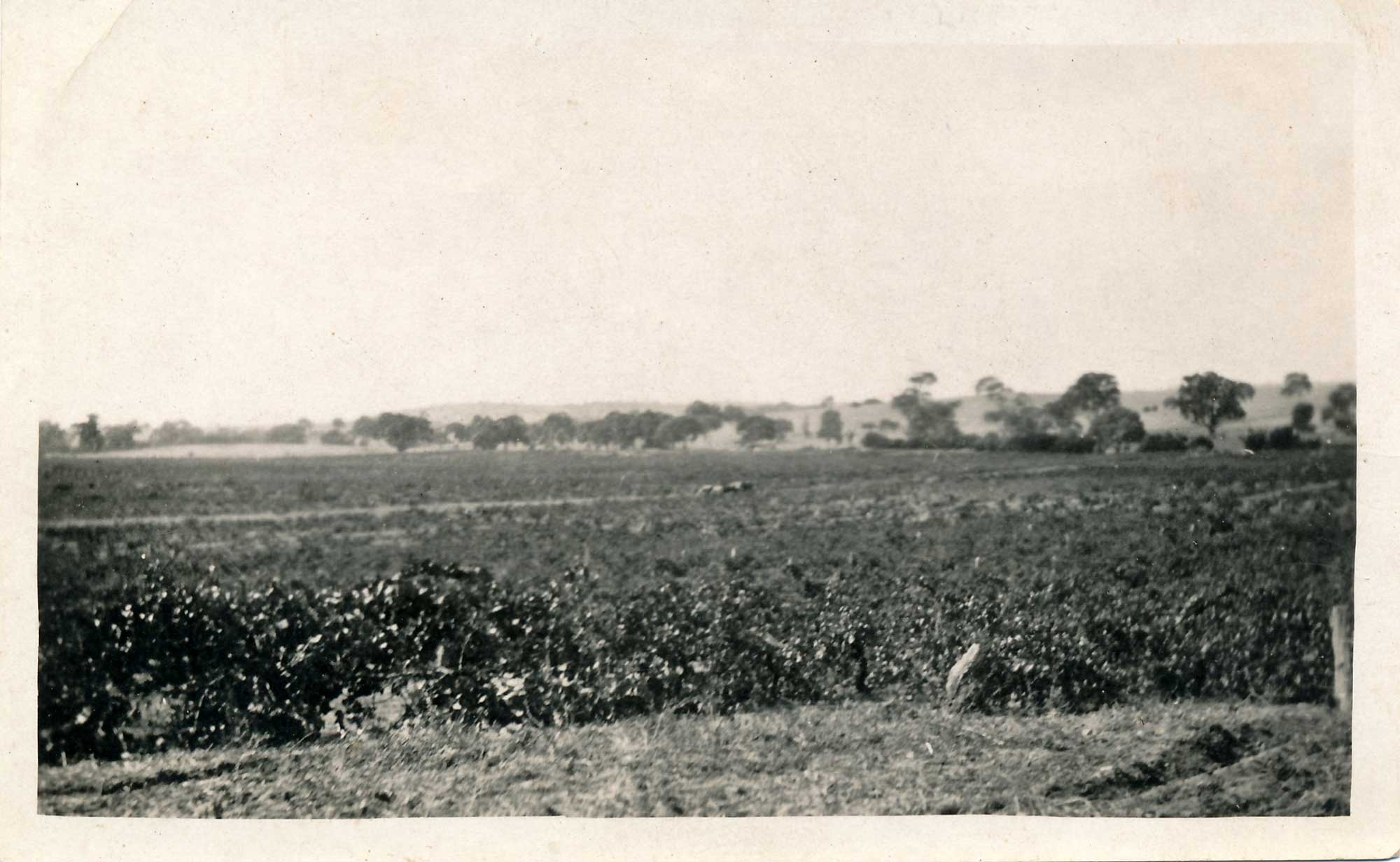 Stonegarden vineyards c1870s