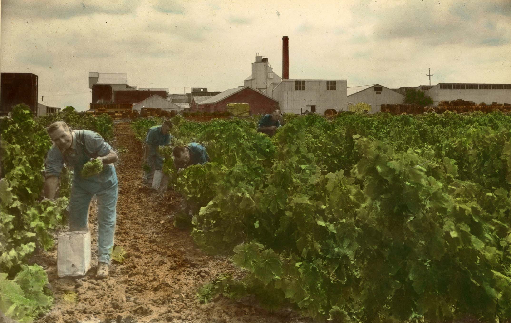 Worker in Hamiltons Ewell Vineyards Glenelg 1960s